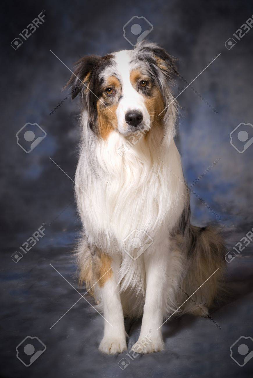 Vertical image of a full body shot of a beautiful purebred Australian Shepherd on a mottled blue and grey background. Stock Photo - 4013991