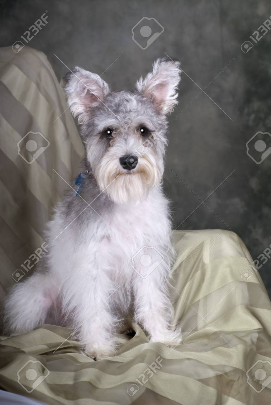 A portrait of a cute salt and pepper Schnauzer sitting in a chair against a green background. Stock Photo - 8602586