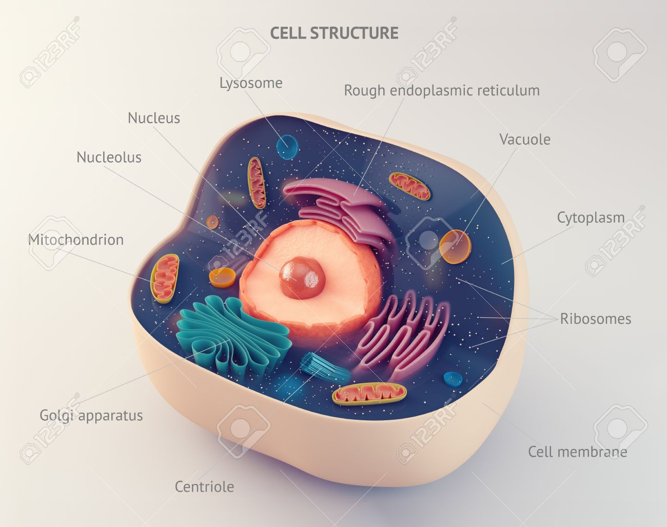 Anatomical Structure Of Biological Animal Cell With Organelles Stock ...