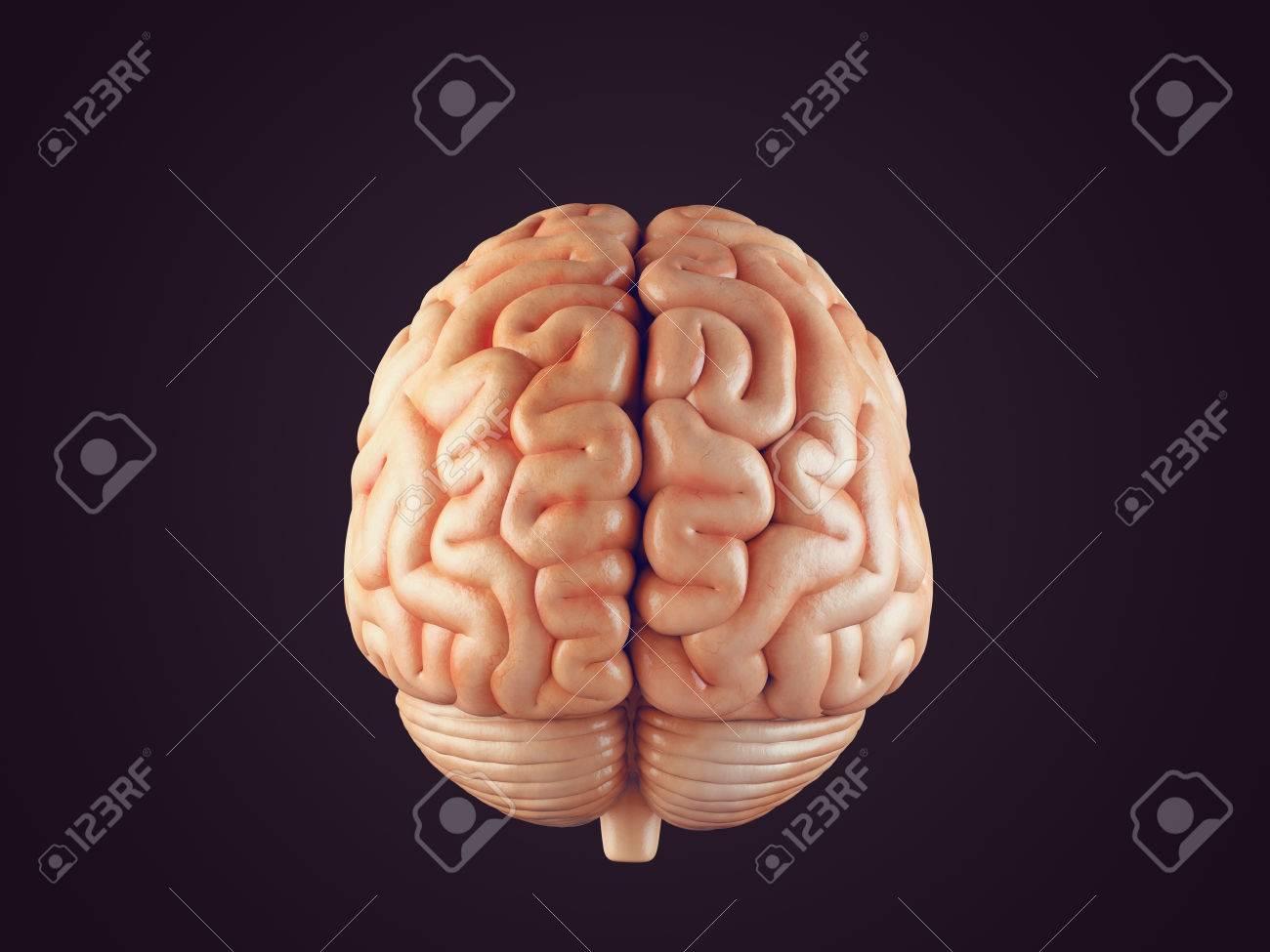 Realista 3d Ilustración De La Vista Frontal Del Cerebro Humano ...