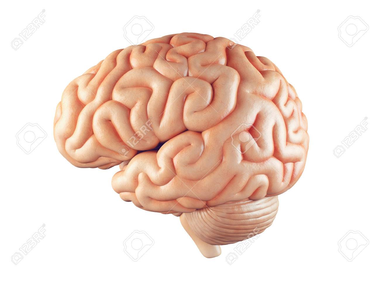 Realistic 3d Illustration Of Human Brain Front View Isolated.. Stock ...