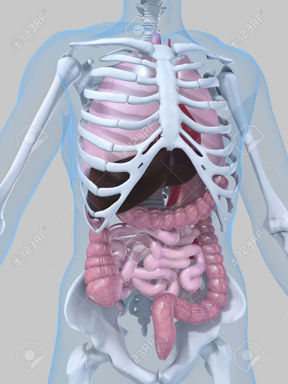 human anatomy Stock Photo - 2021080