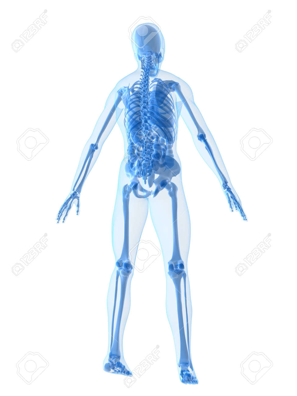 human anatomy Stock Photo - 2020924