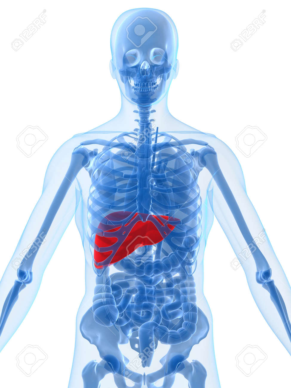human anatomy with liver Stock Photo - 2021132