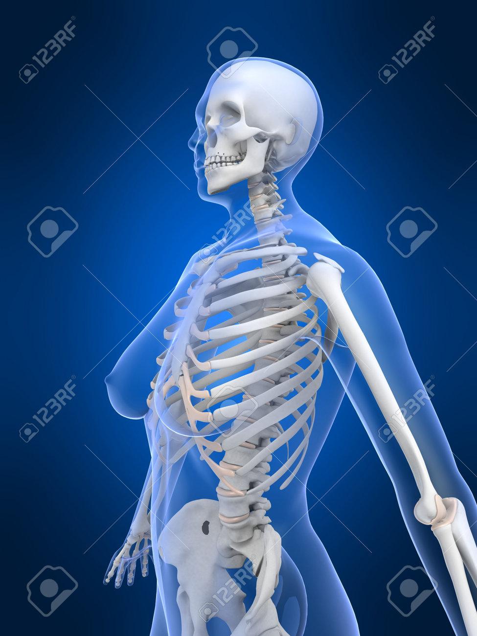 Weibliche Skelett 3D, Anatomische, Anatomie, Arthritis ...