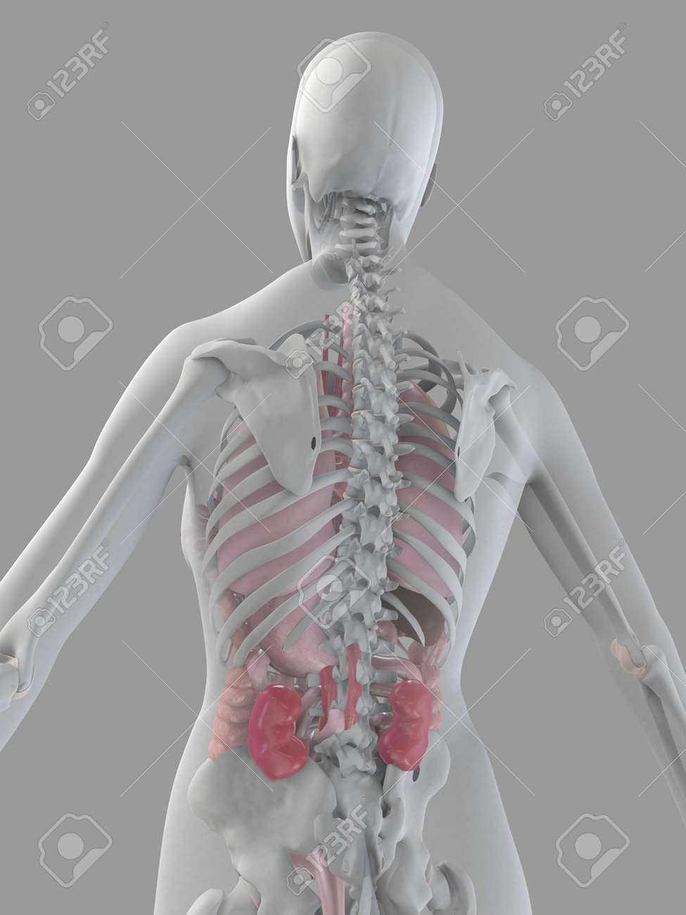 female anatomy Stock Photo - 2055895