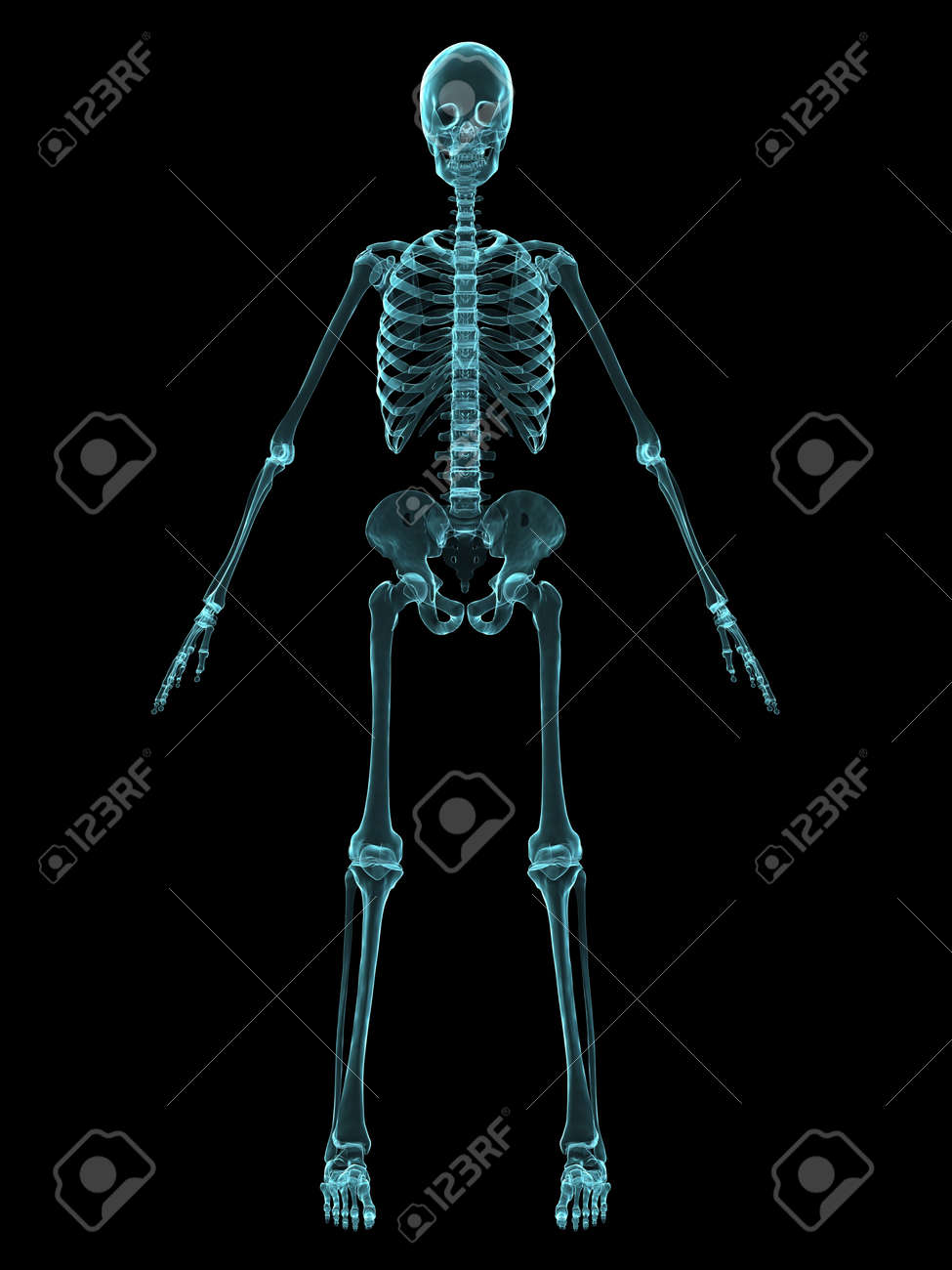 x-ray human skeleton - front view stock photo, picture and royalty, Skeleton