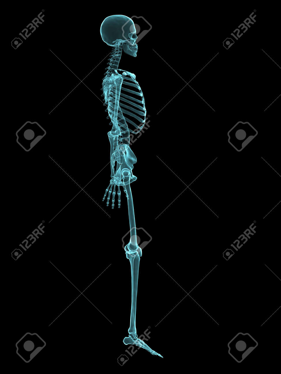 x-ray human skeleton - side view stock photo, picture and royalty, Skeleton