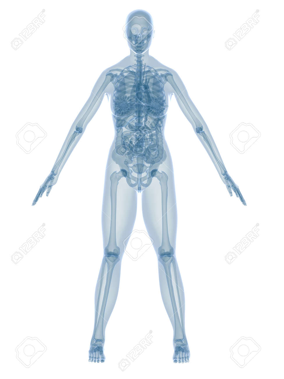 female anatomy Stock Photo - 2846122