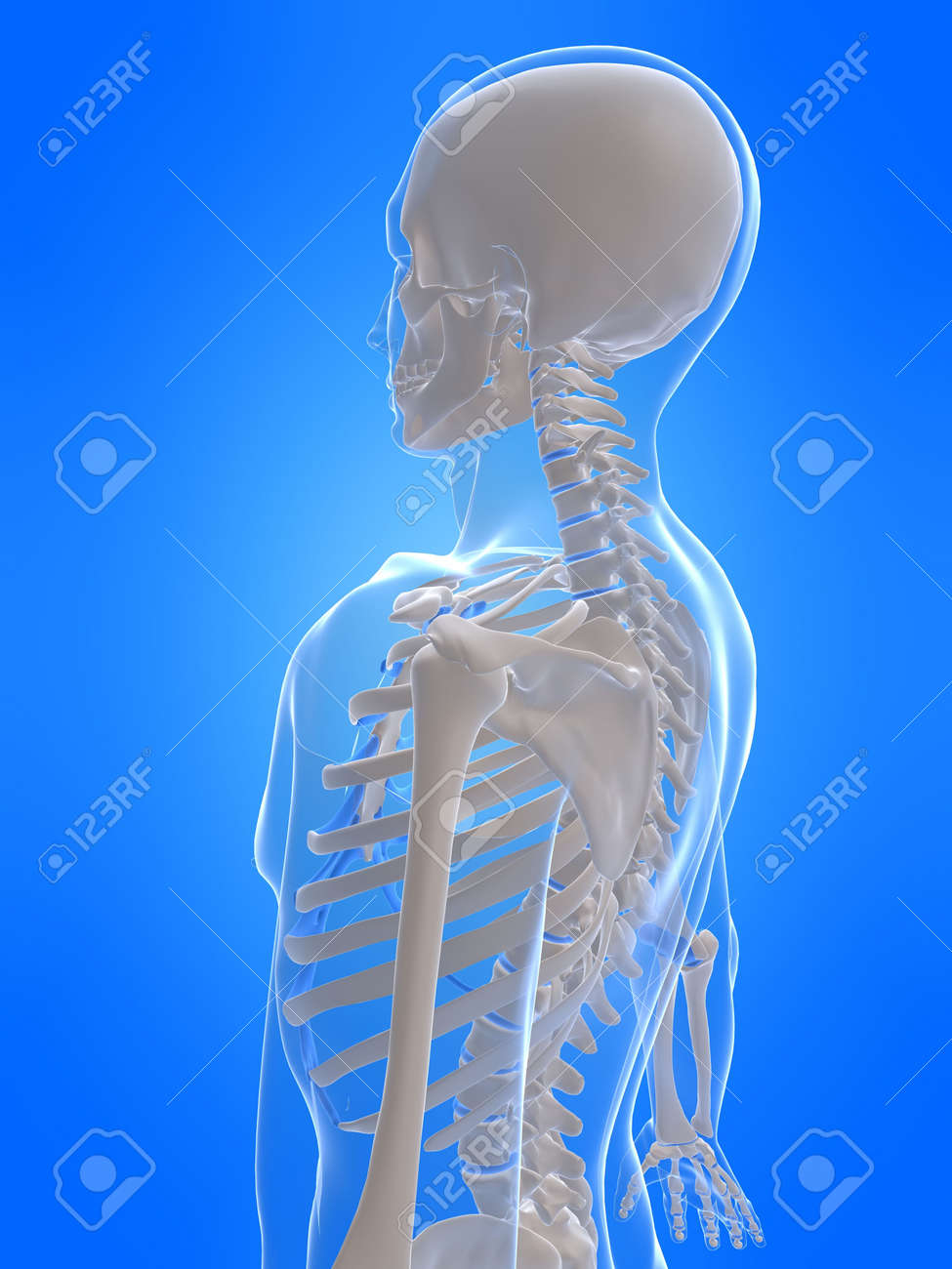 Human Skeleton Side View Stock Photo Picture And Royalty Free