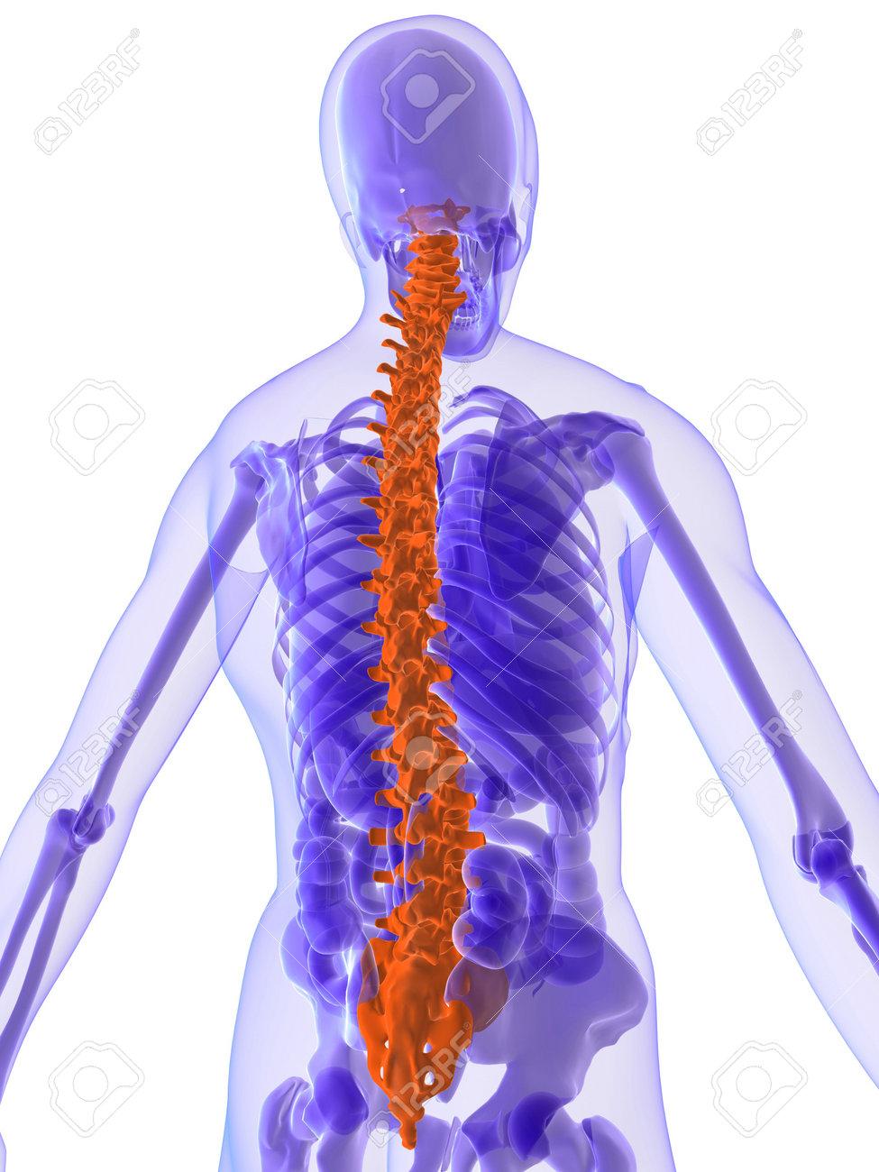 3D-Anatomie - Wirbelsäule Lizenzfreie Fotos, Bilder Und Stock ...