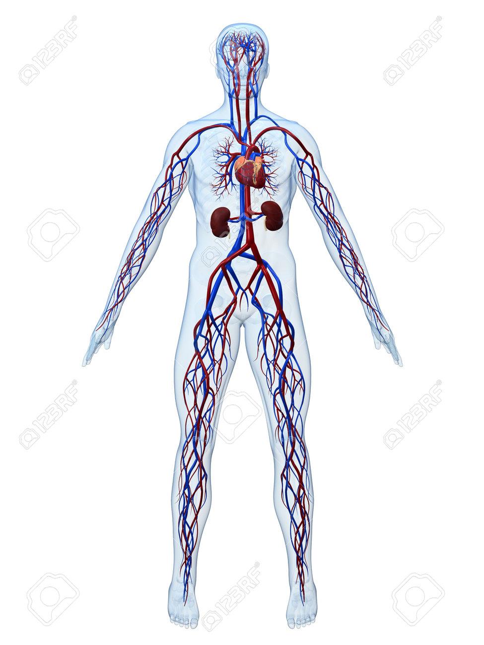 cardiovascular system Stock Photo - 3196846