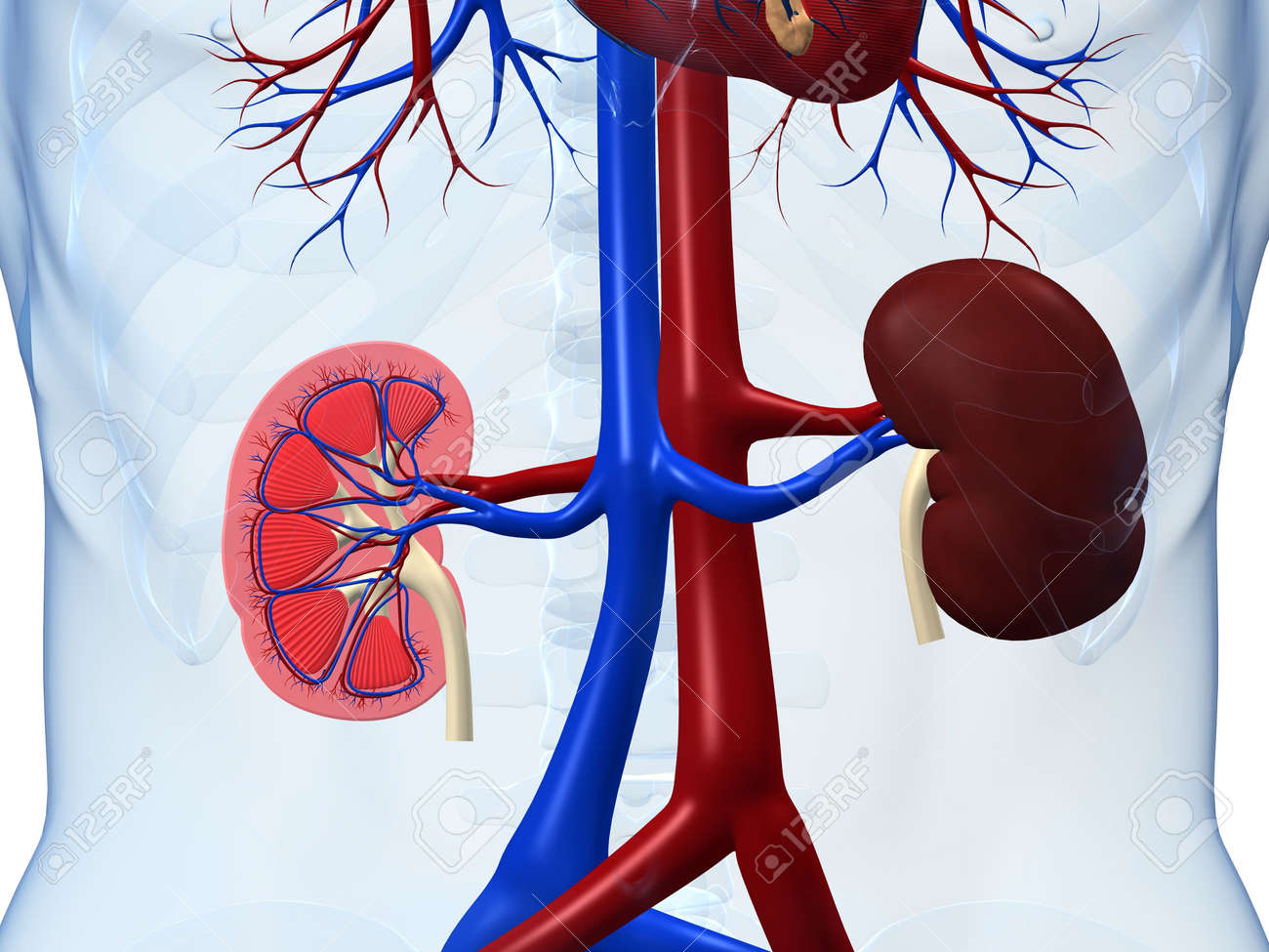 human kidneys Stock Photo - 3196847