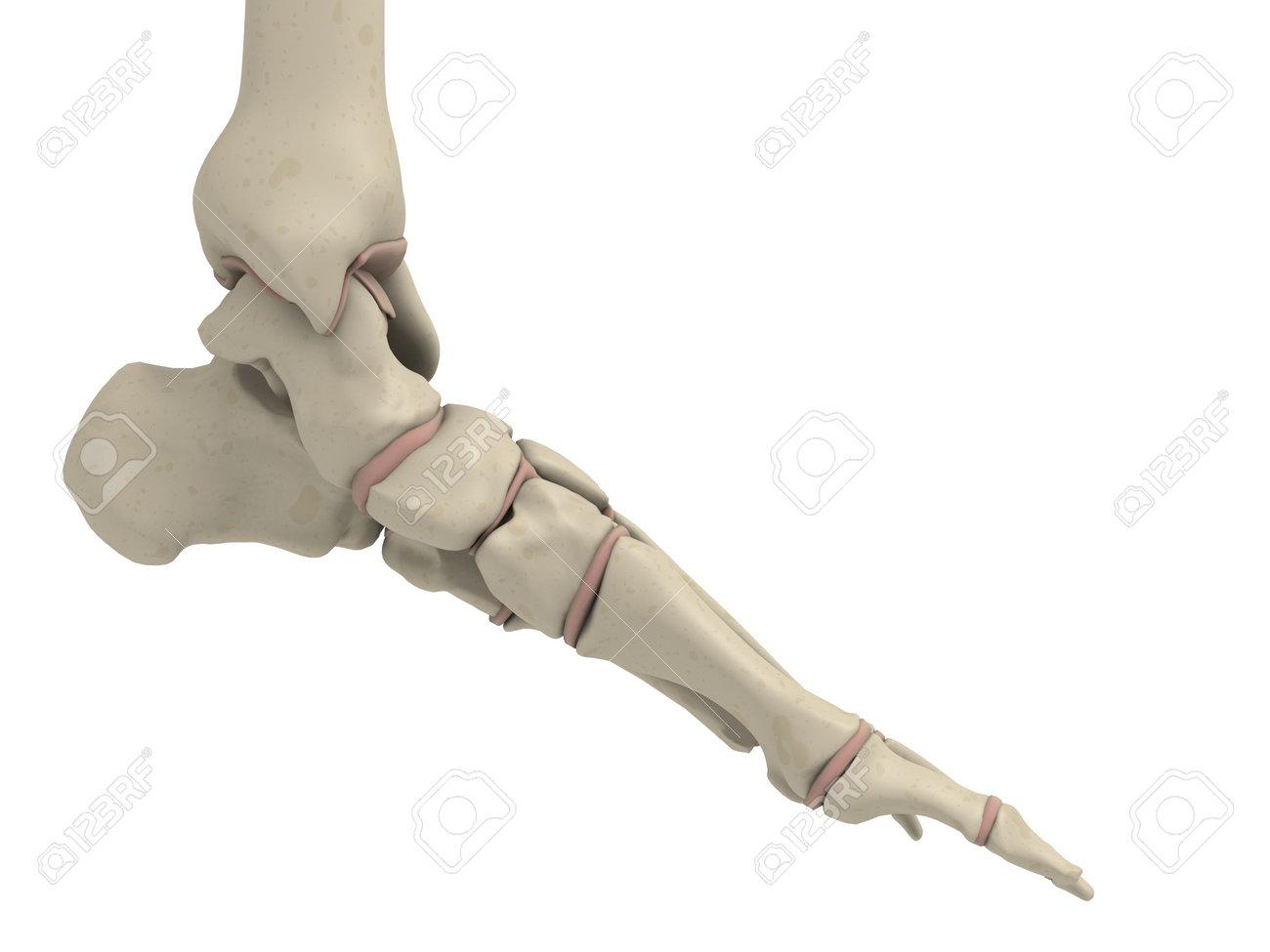 Skelett-Fuß Lizenzfreie Fotos, Bilder Und Stock Fotografie. Image ...
