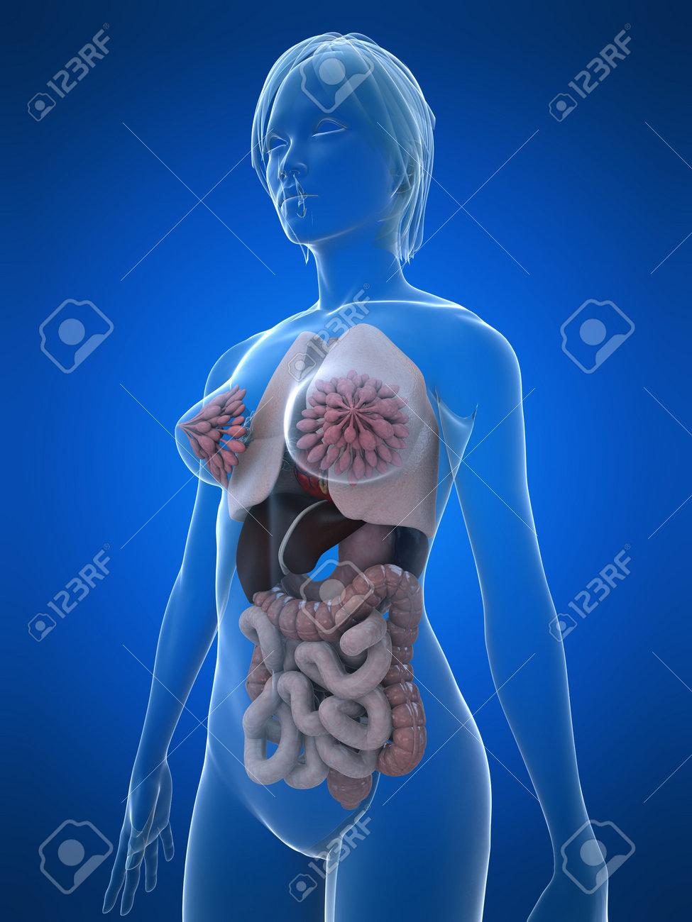 Excepcional El Diagrama De La Anatomía Femenina Friso - Anatomía de ...