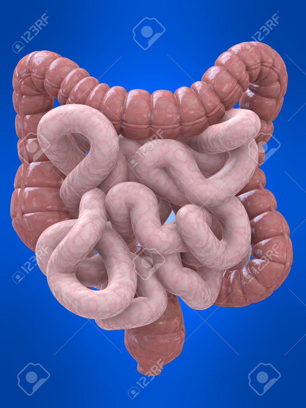 colon and intestines Stock Photo - 4696074