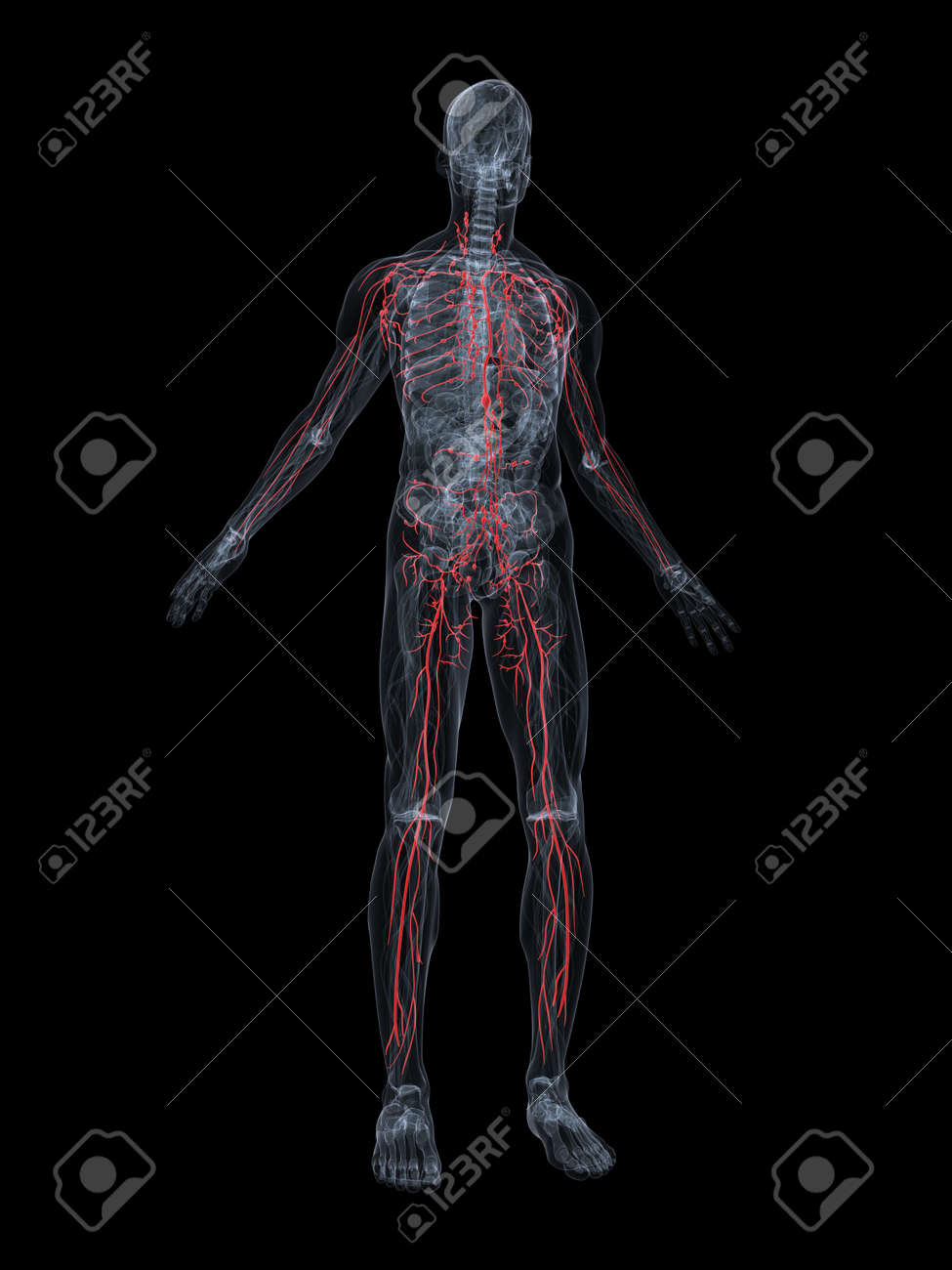 highlighted lymphatic system Stock Photo - 4696202