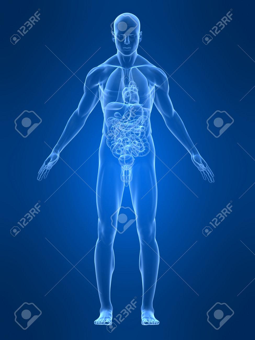 Ungewöhnlich Männliche Fortpflanzungssystem Anatomie Und Physiologie ...