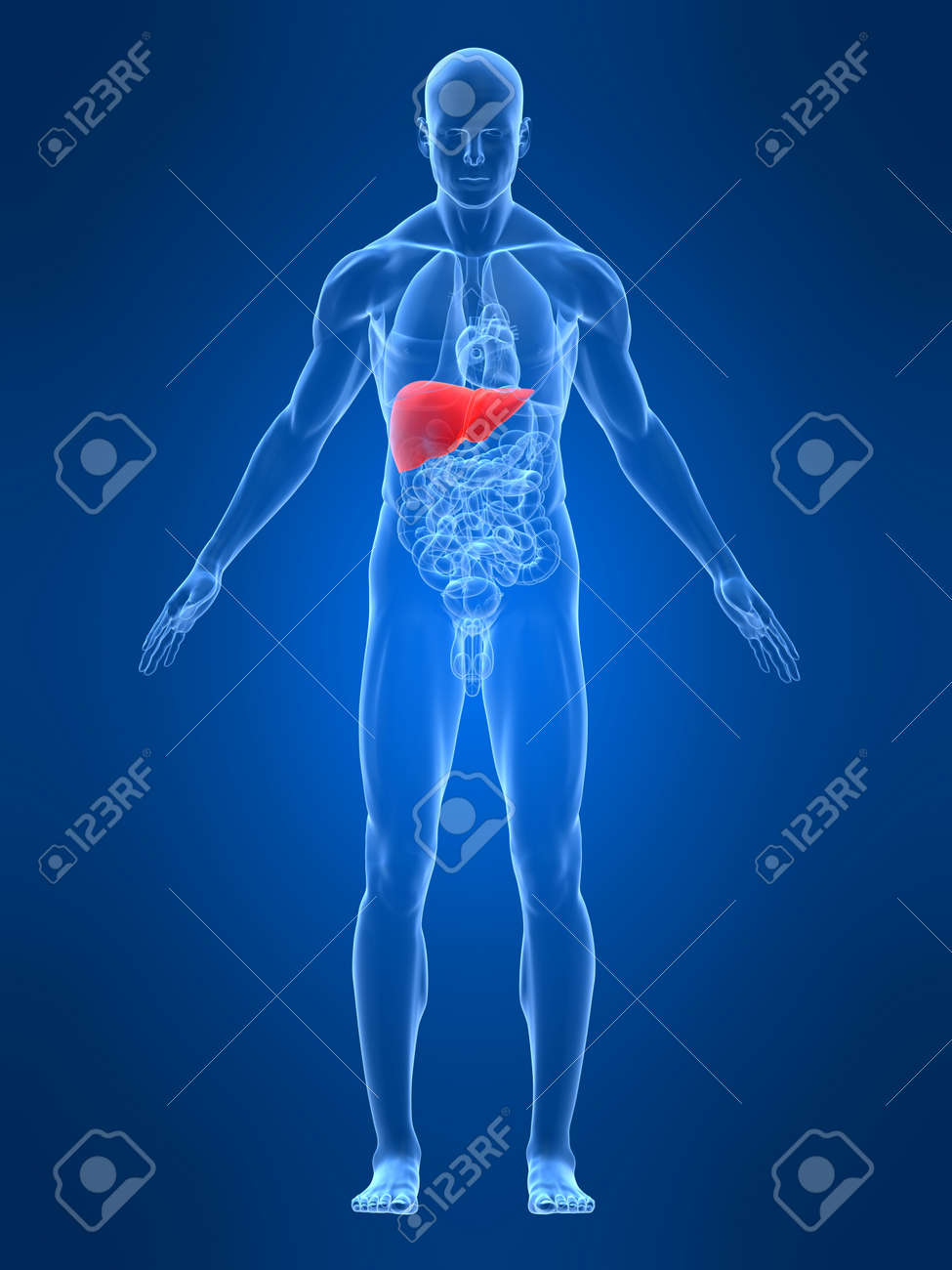 Transparent male body with highlighted liver stock photo picture stock photo transparent male body with highlighted liver ccuart Choice Image