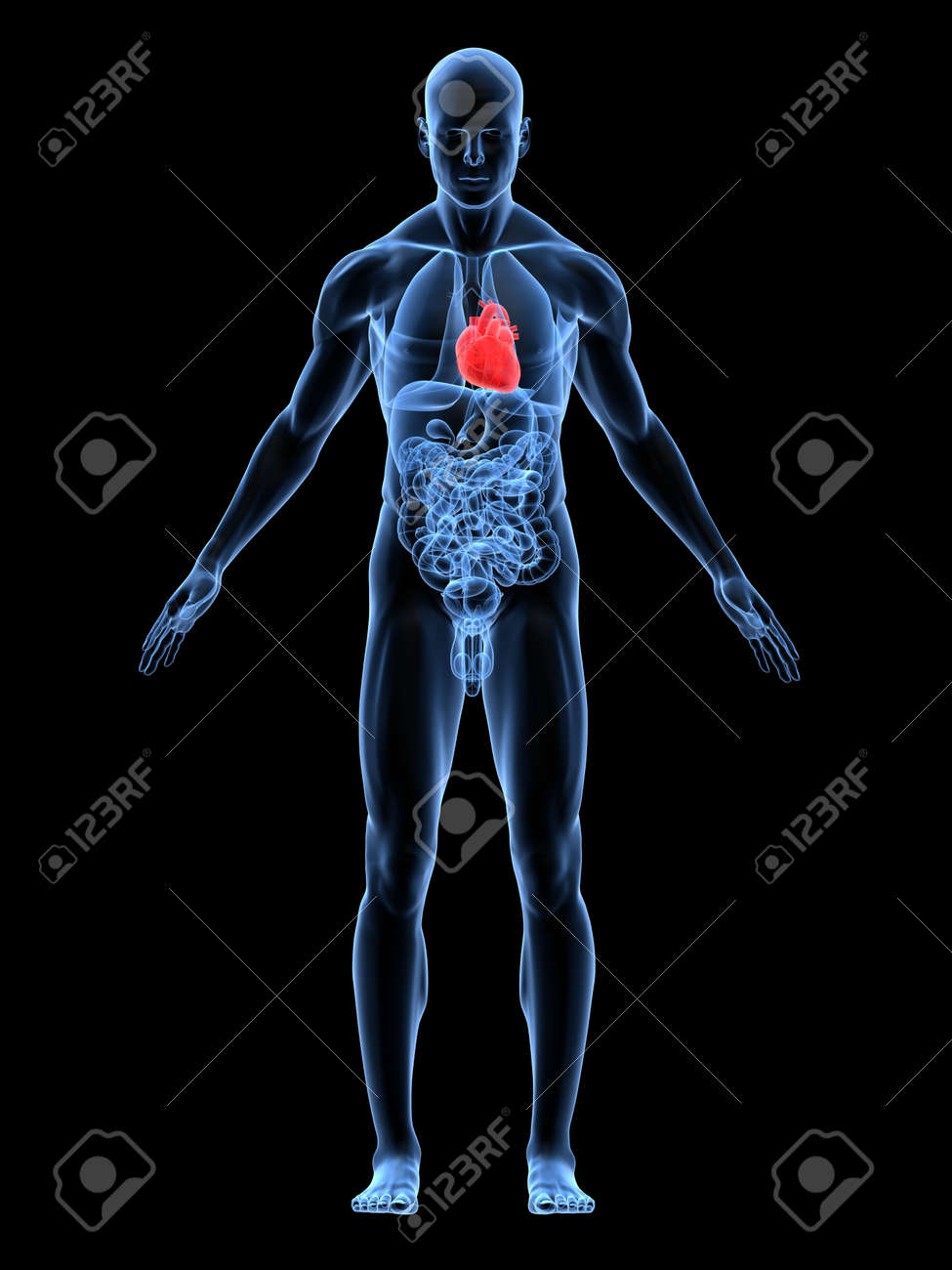 transparent male body with highlighted heart Stock Photo - 4683055