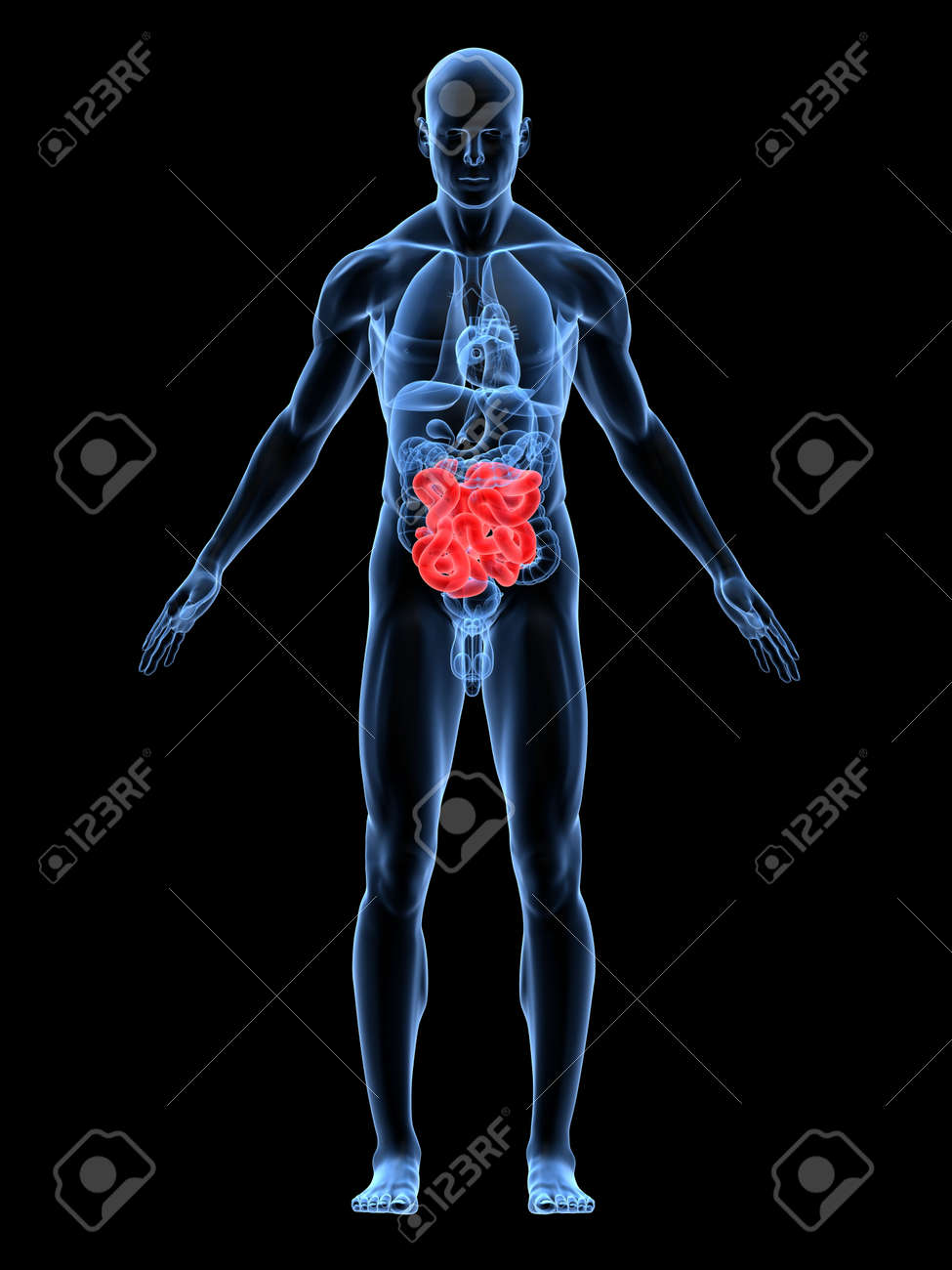 transparent male body with highlighted intestines Stock Photo - 4683046