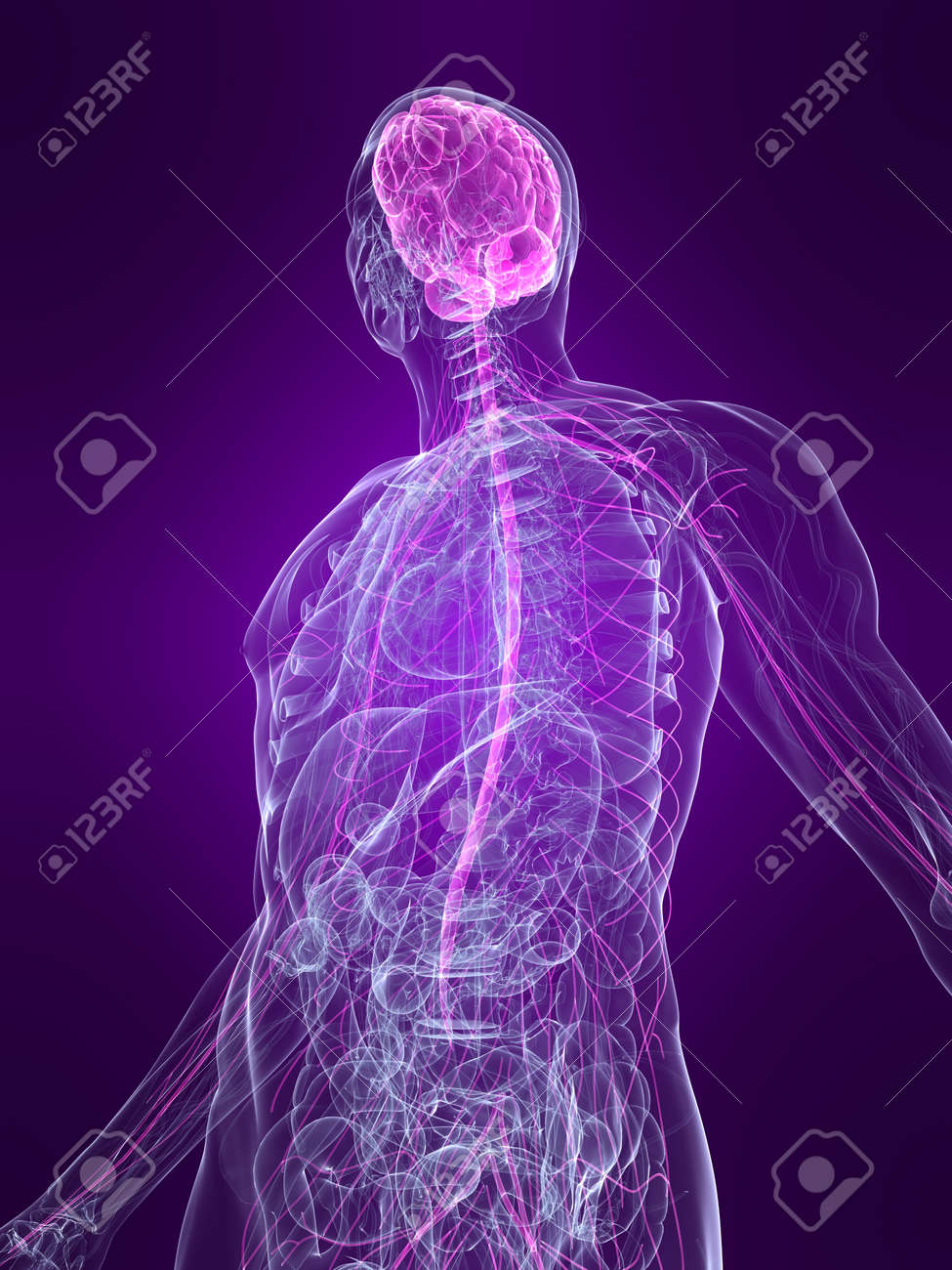 transparent human body with highlighted nervous system Stock Photo - 4683193