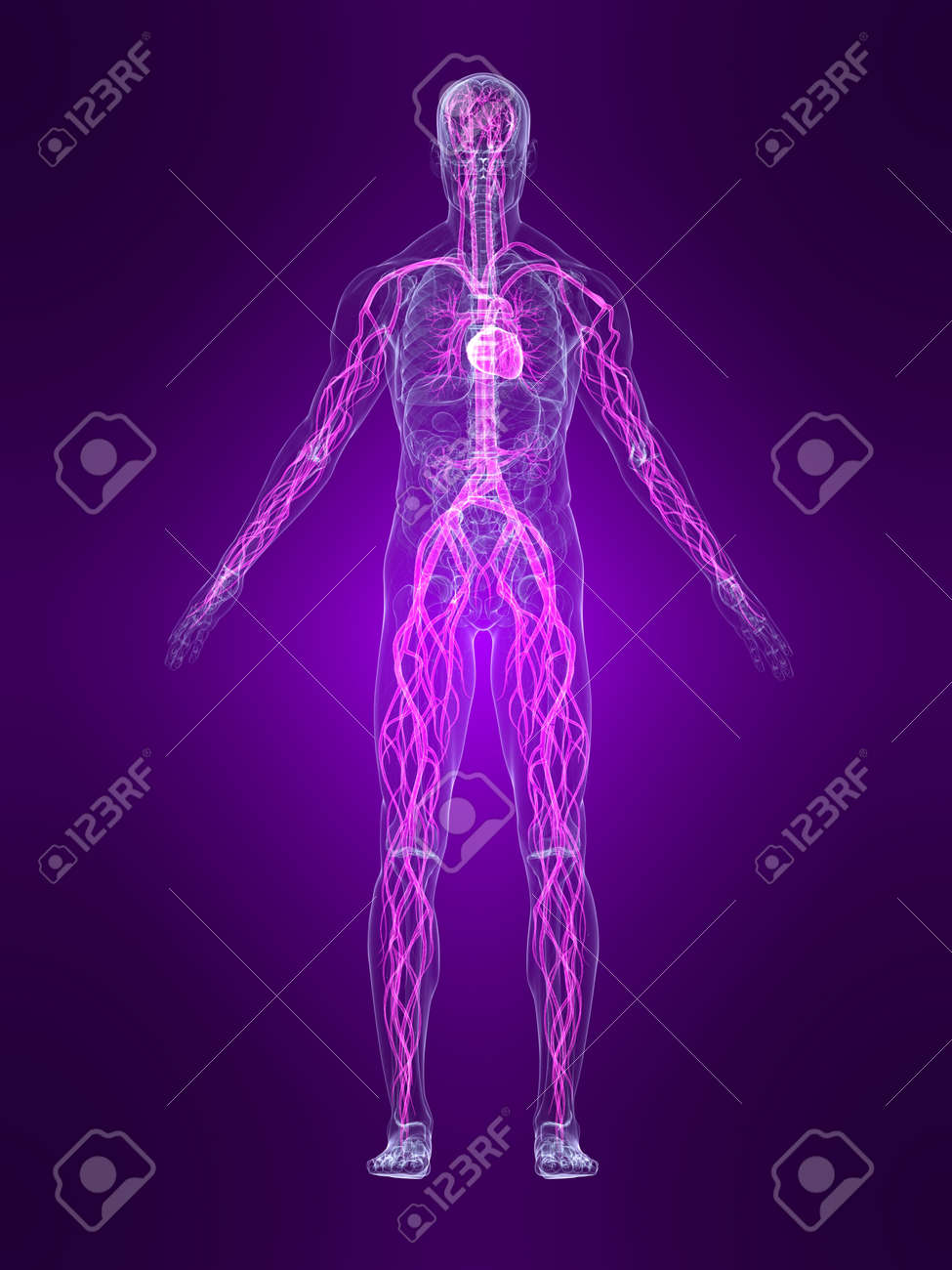 Transparent Menschlichen Körper Mit Hervorgehobenen Kreislauf-System ...