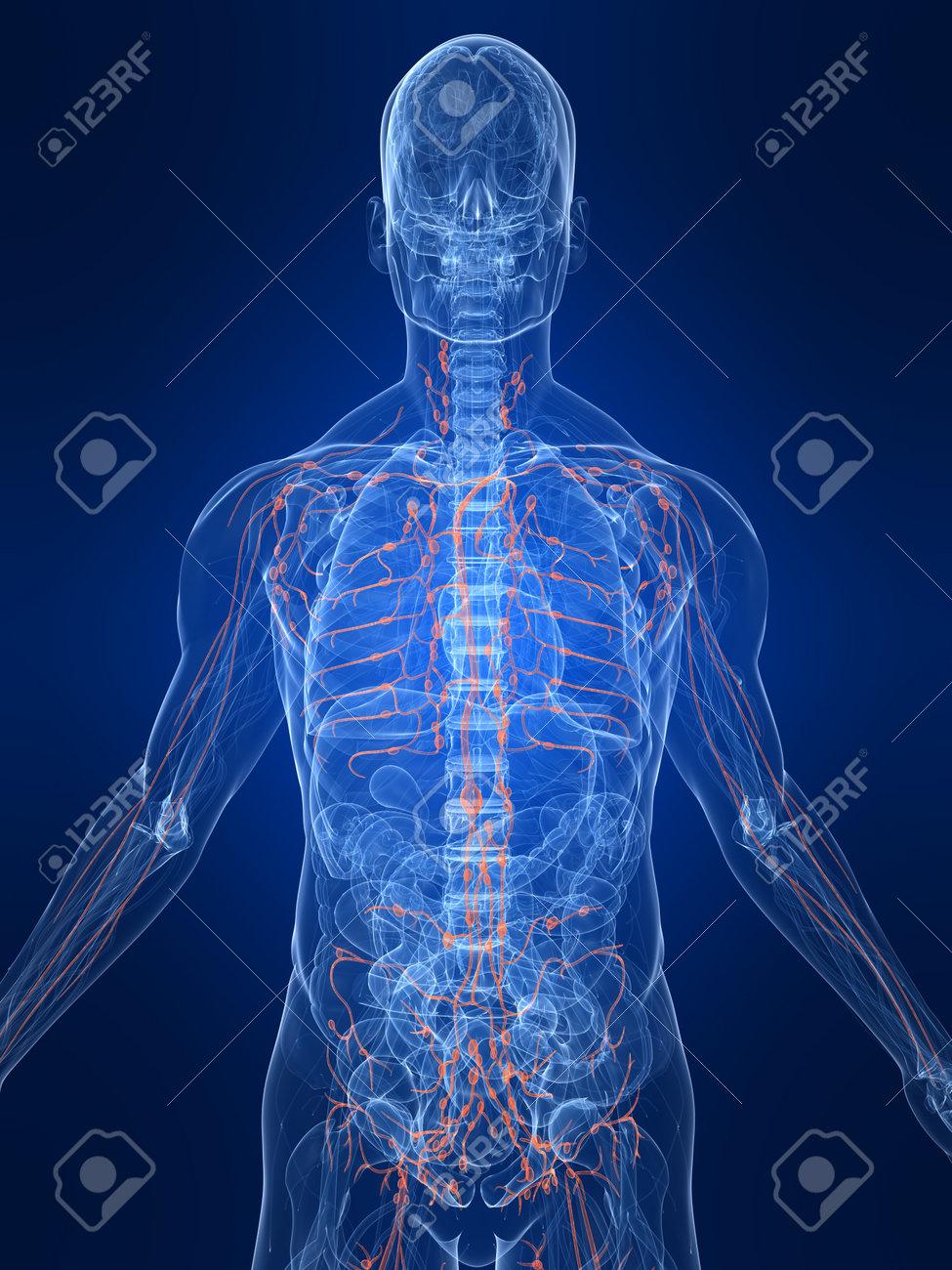 Berühmt Einführung In Die Anatomie Und Physiologie Gutherz Willcox ...