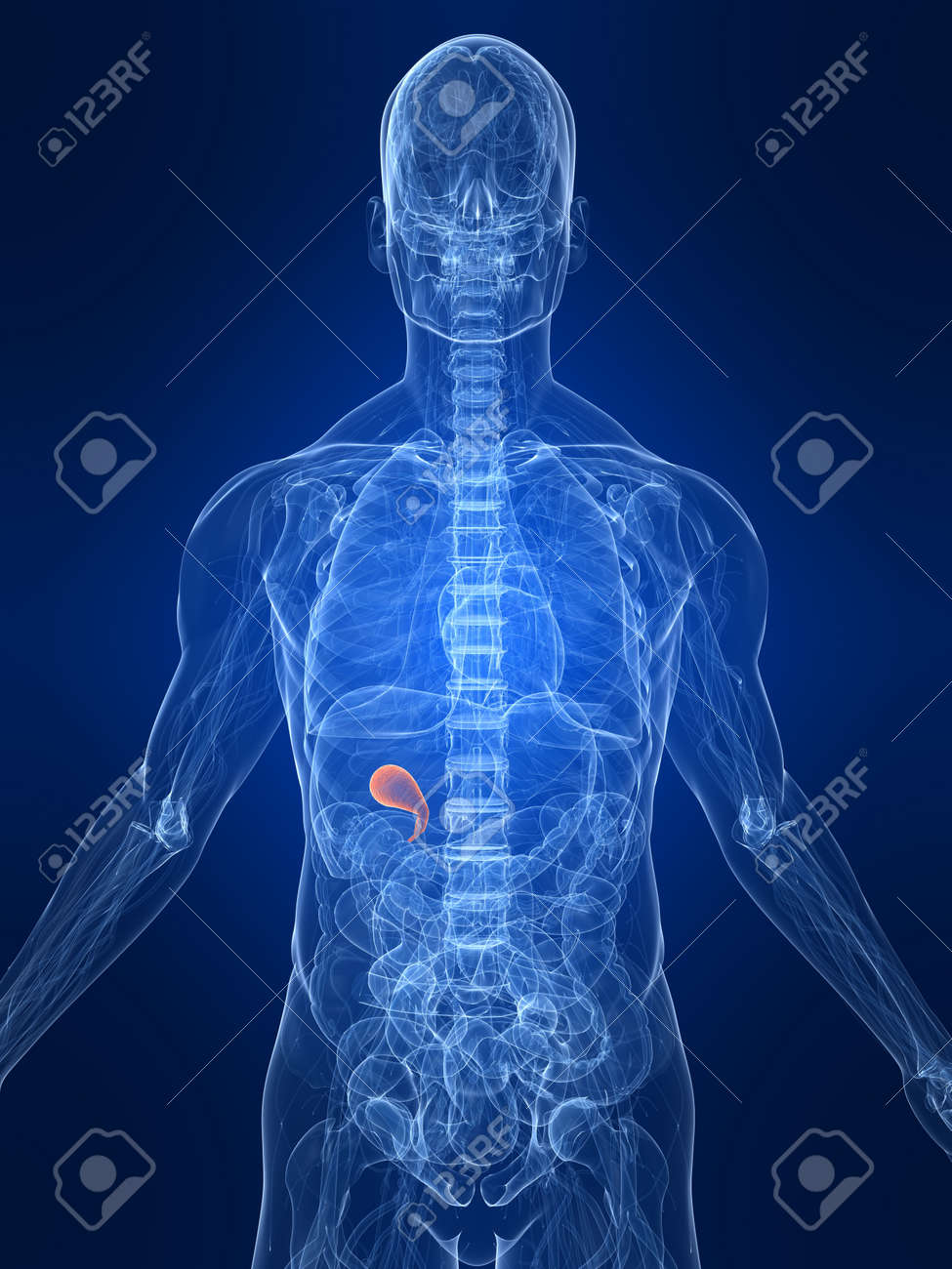 higlighted gall bladder Stock Photo - 4683155