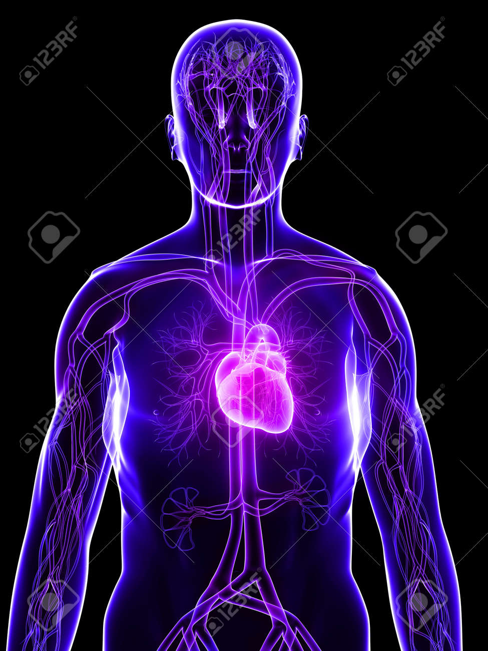 transparent body with highlighted heart Stock Photo - 4757645