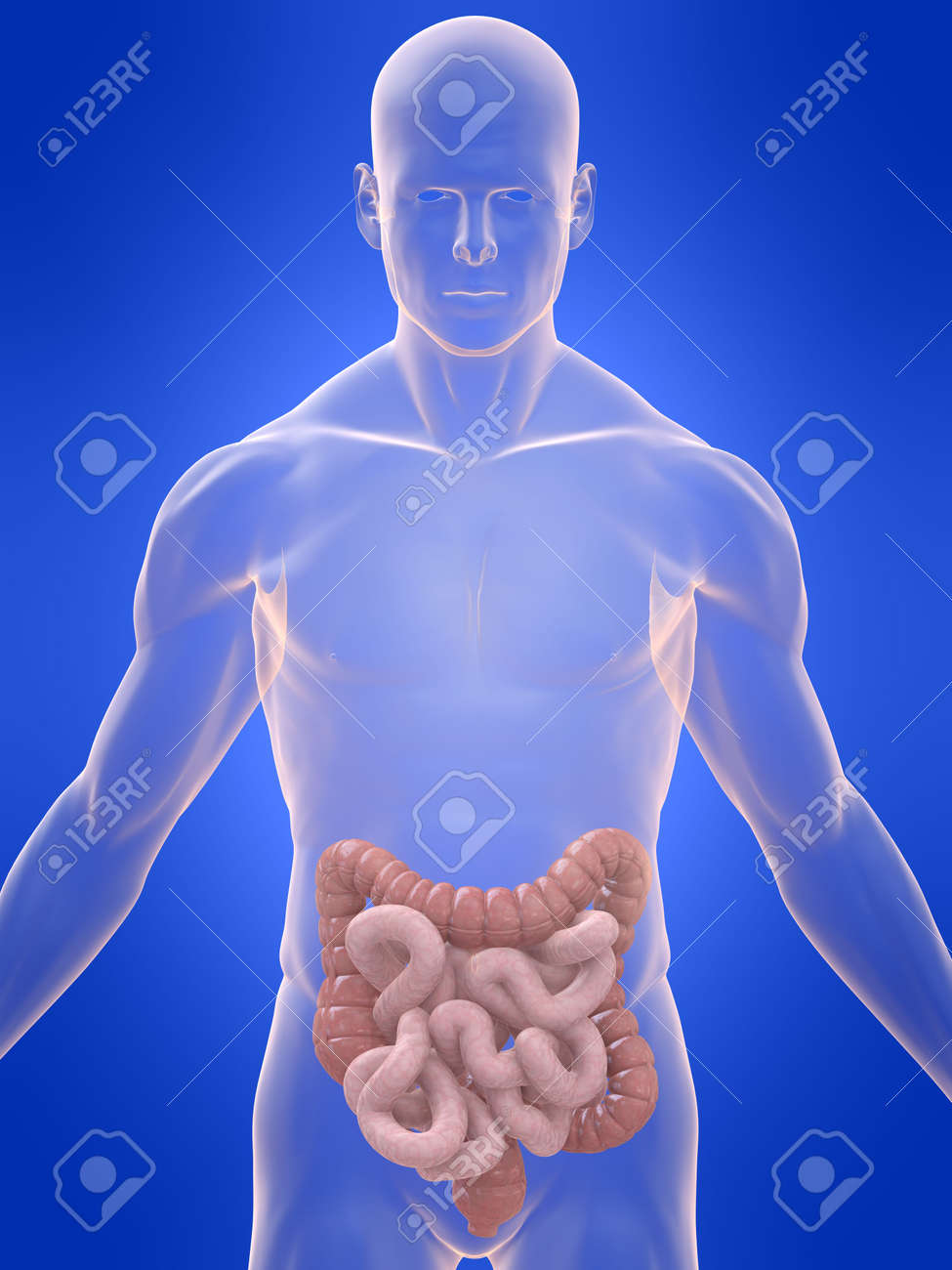 transparent body with colon and intestines Stock Photo - 4757642