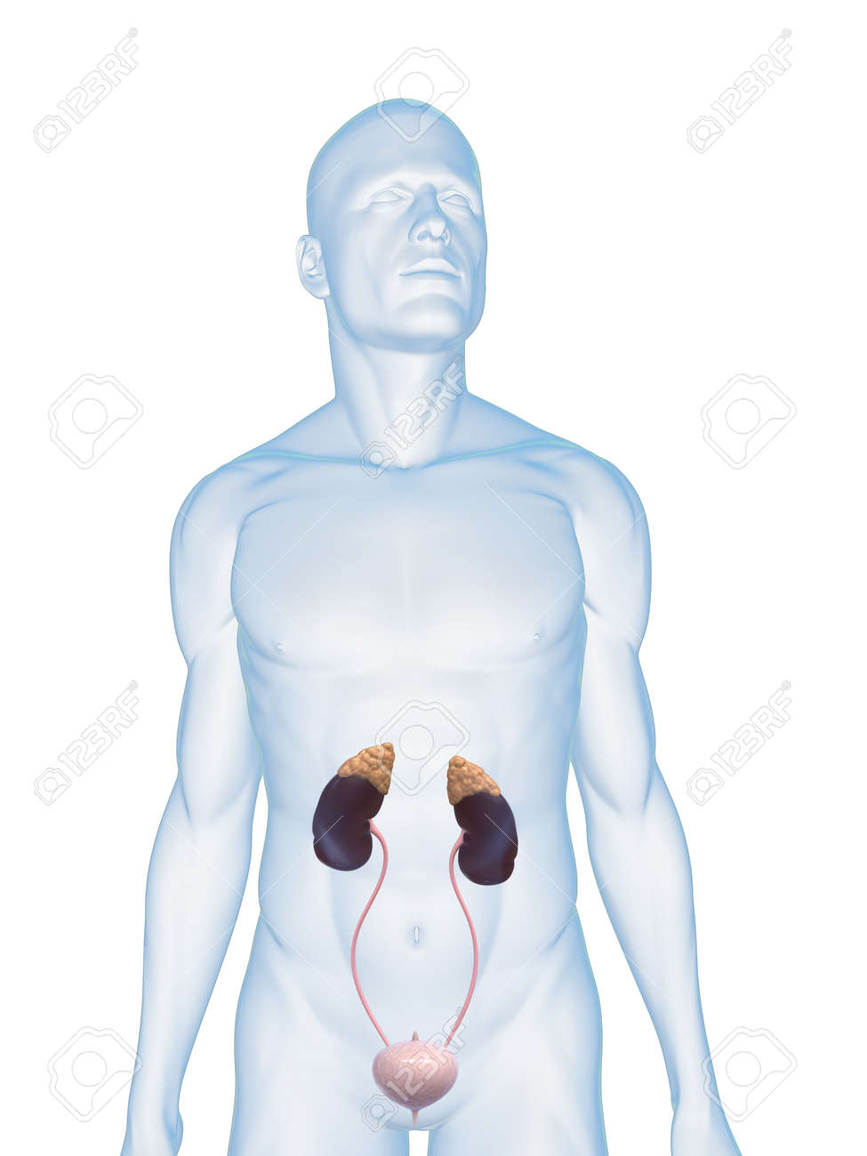 male body with urinary system Stock Photo - 5273028