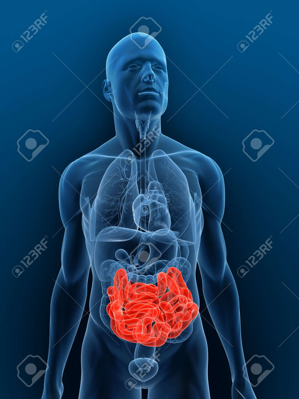 Transparent Body With Highlighted Small Intestines Stock Photo