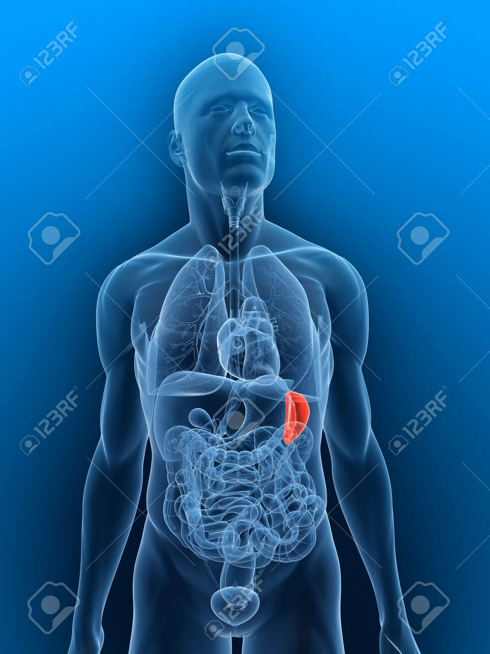 transparent body with highlighted spleen Stock Photo - 5267763