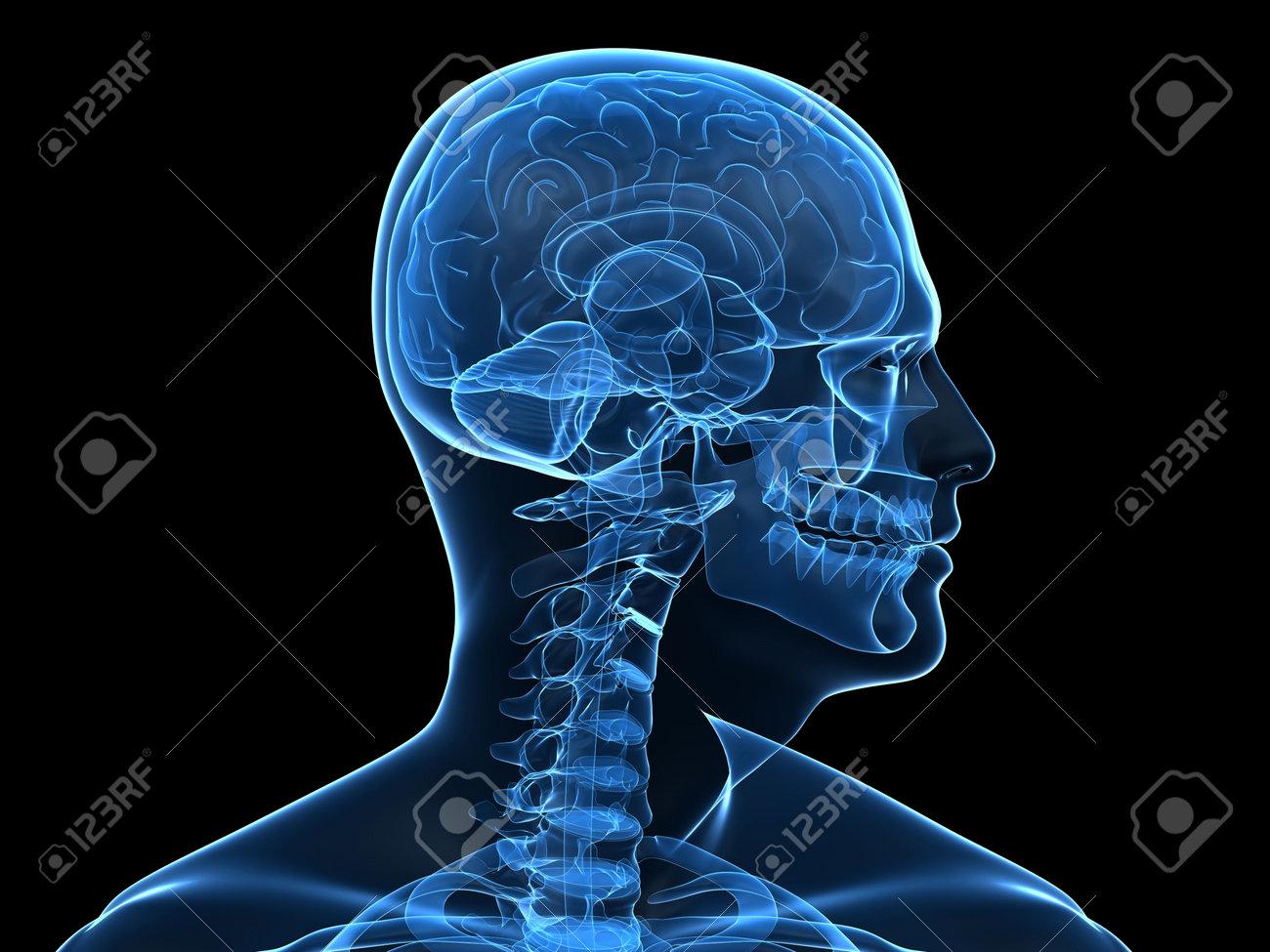 Radiografía De La Cabeza Humana Con Partes Del Cerebro Fotos ...