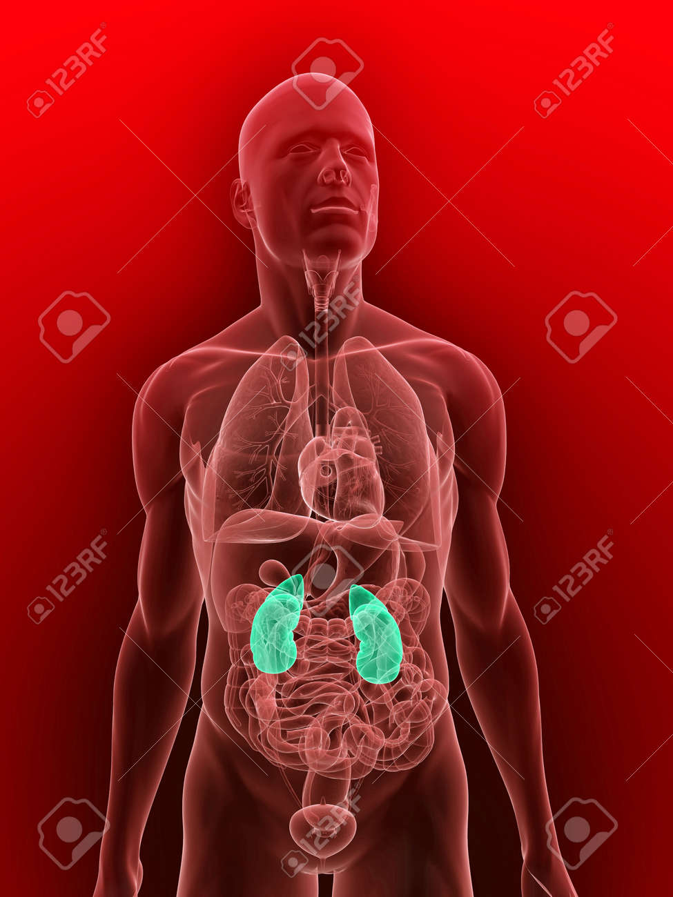 transparent body with highlighted kidneys Stock Photo - 5960345