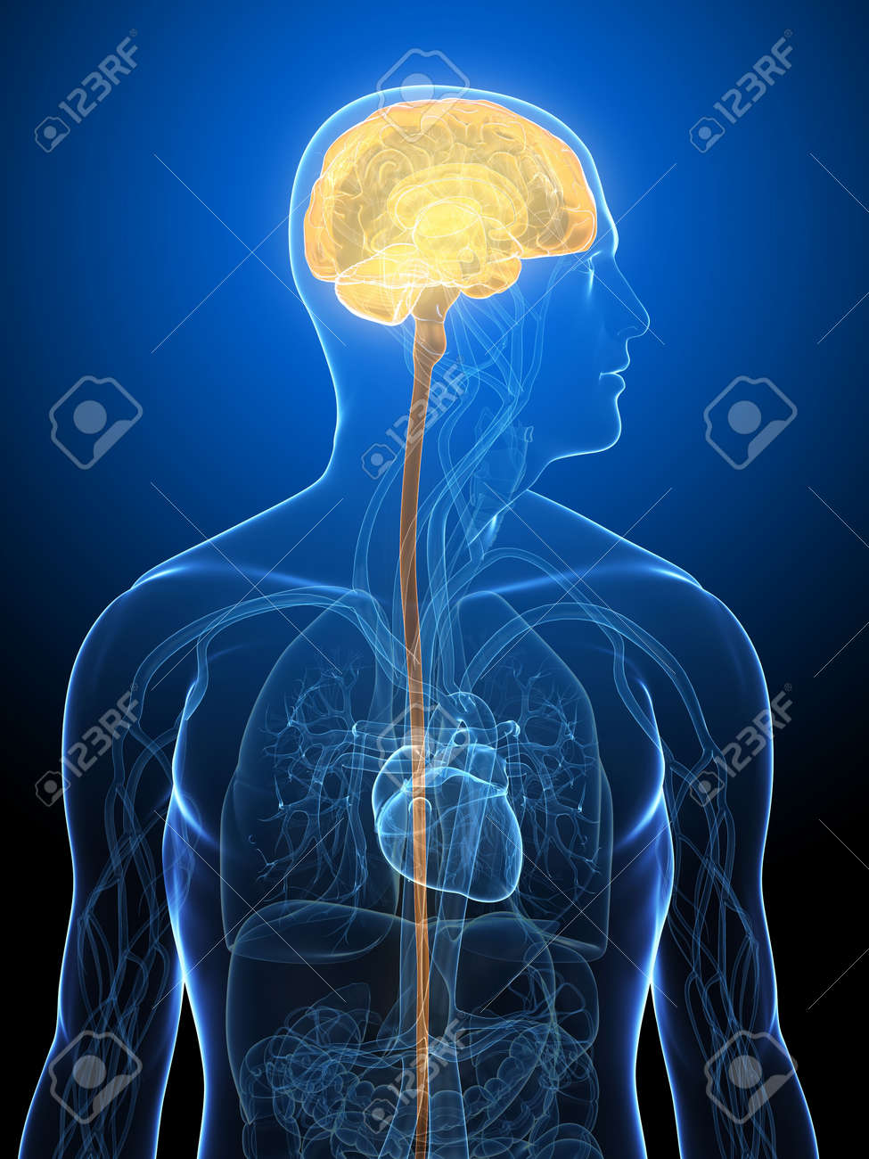 transparent human body with highlighted brain Stock Photo - 5960428