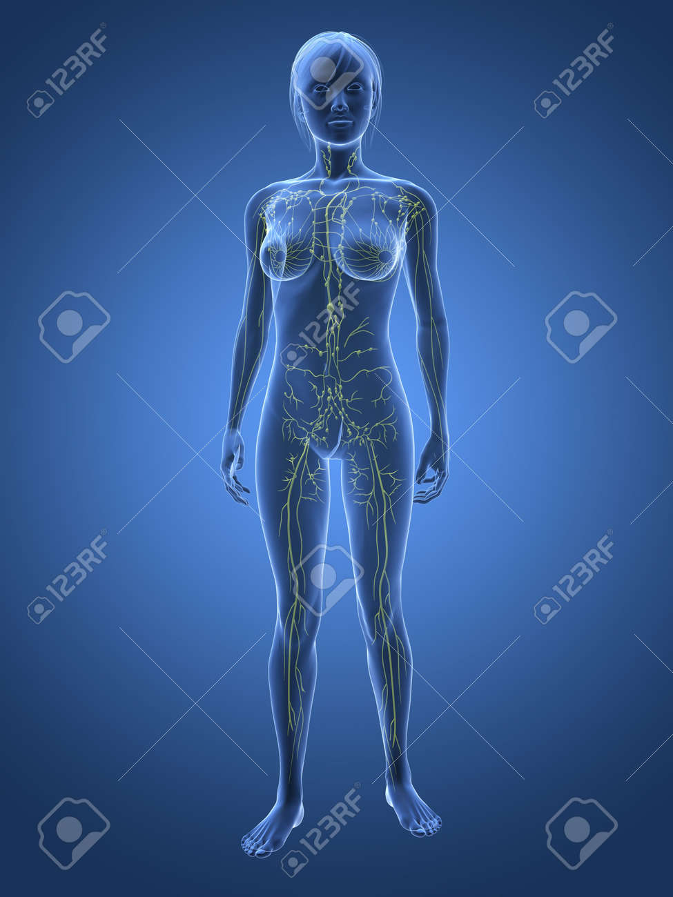 transparent woman - lymphatic system Stock Photo - 6359791