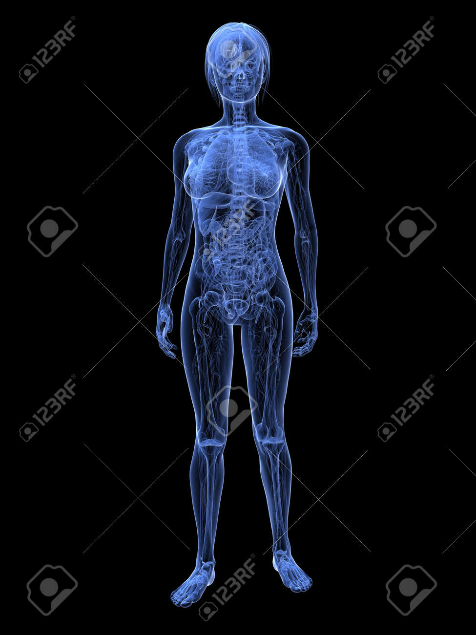 transparent female anatomy Stock Photo - 6359843