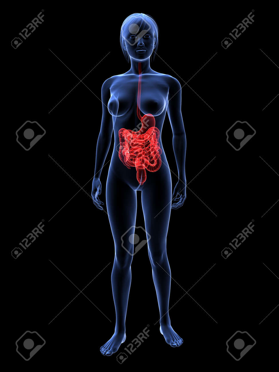 female highlighted digestive system Stock Photo - 6359753