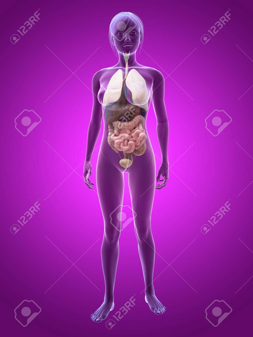 Transparent Female Body With Organs Stock Photo Picture And Royalty