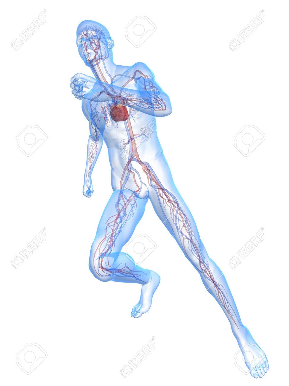 Niedlich Periphere Vaskuläre System Anatomie Fotos - Menschliche ...