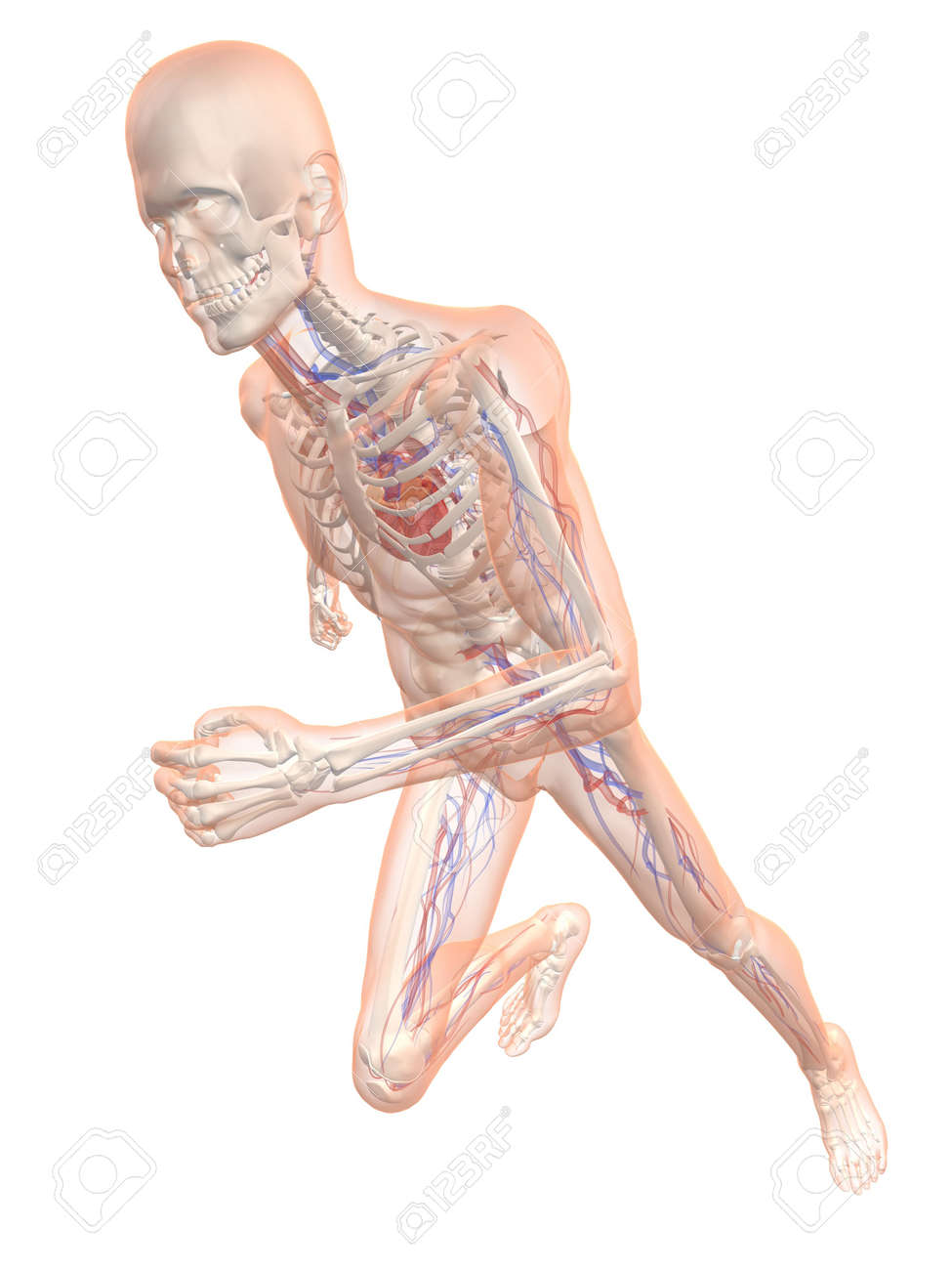 Transparent Running Man - Vascular System Stock Photo, Picture And ...