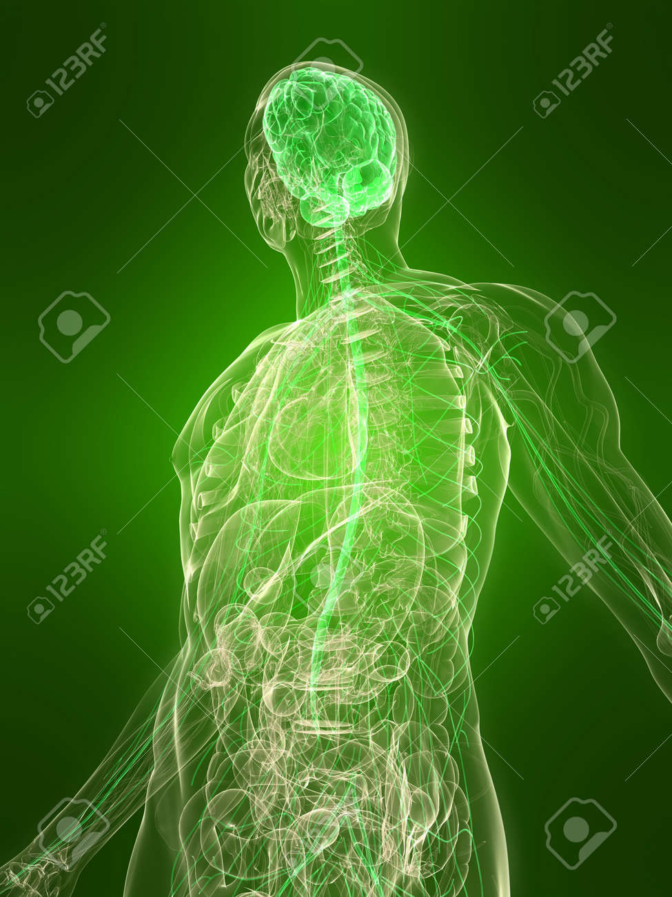 transparent body with healthy brain - 6443687