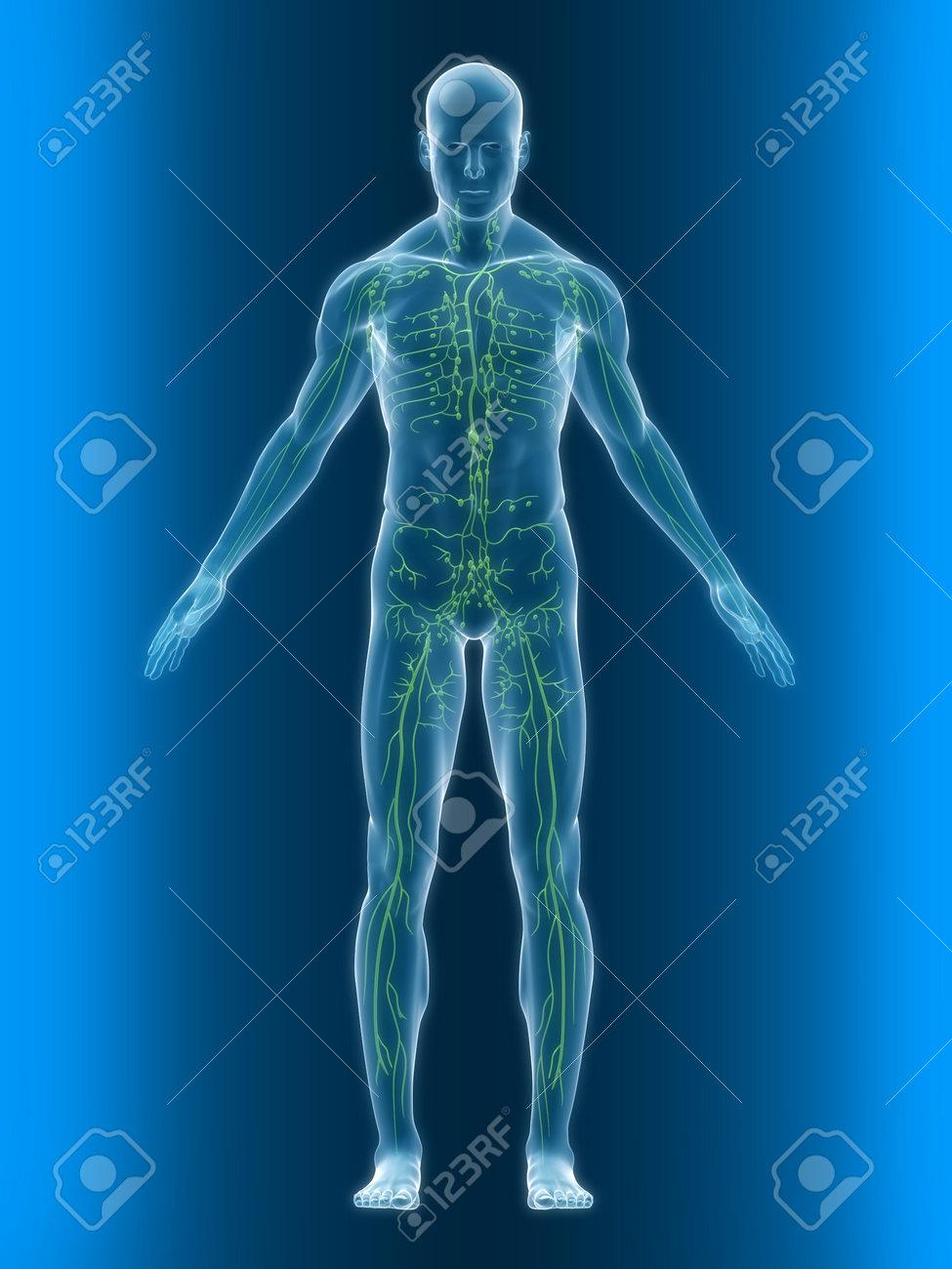 Transparente Körper Mit Gesunden Lymphatisches-system Lizenzfreie ...