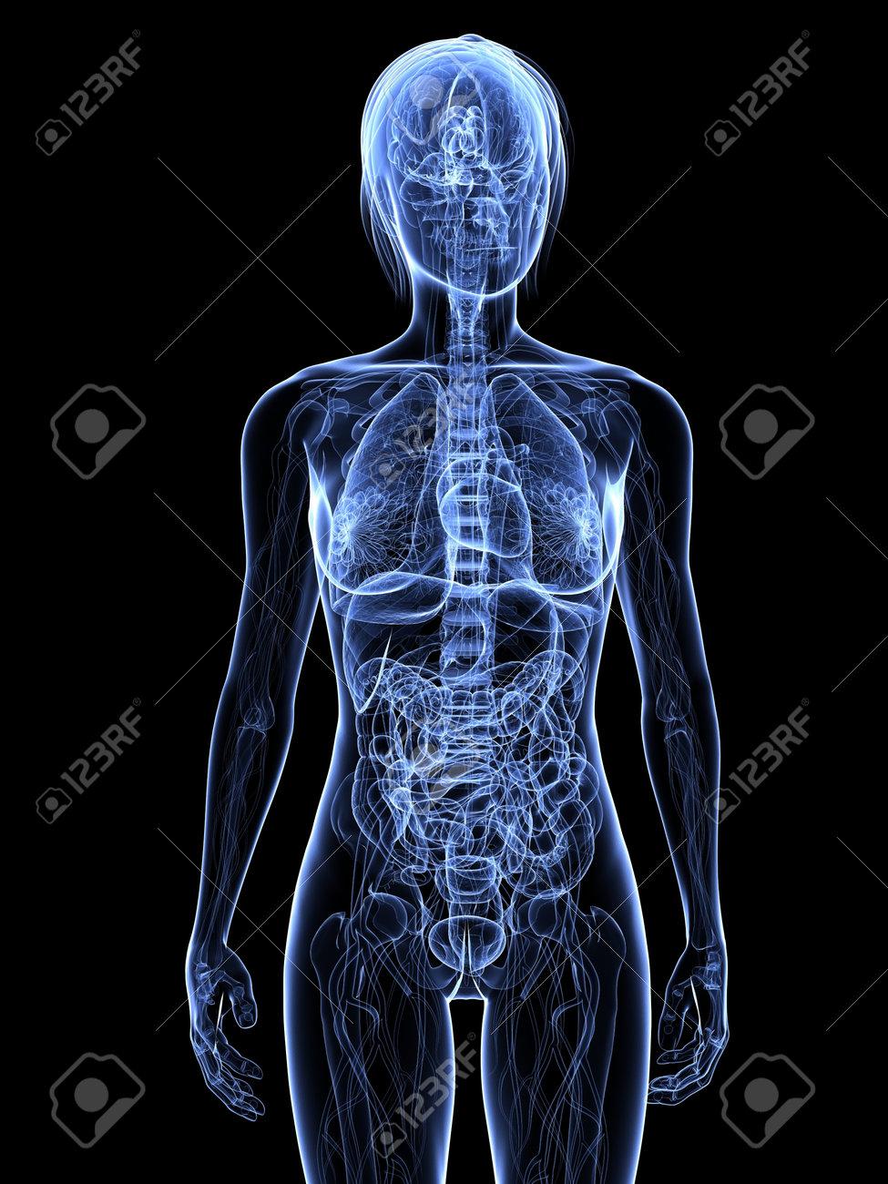 transparent female anatomy Stock Photo - 7308797