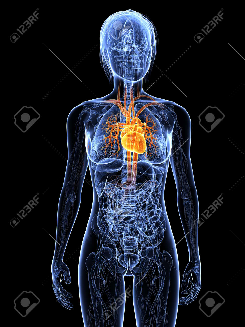 female anatomy with highlighted heart Stock Photo - 7308827