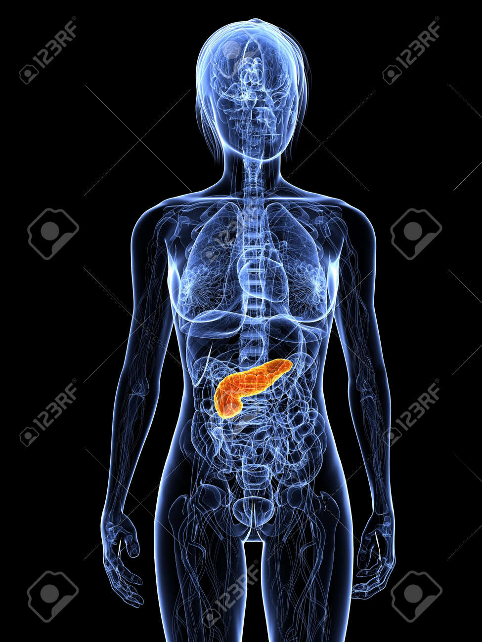 transparent female body with highlighted pancreas Stock Photo - 7308822