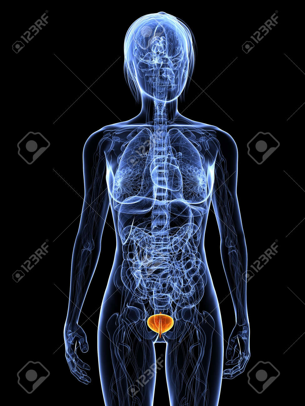 Female Anatomy With Highlighted Bladder Stock Photo Picture And