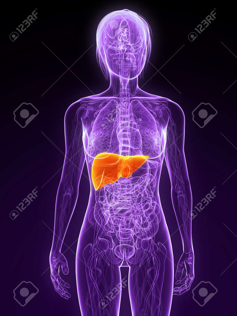 female anatomy with highlighted liver Stock Photo - 7314756
